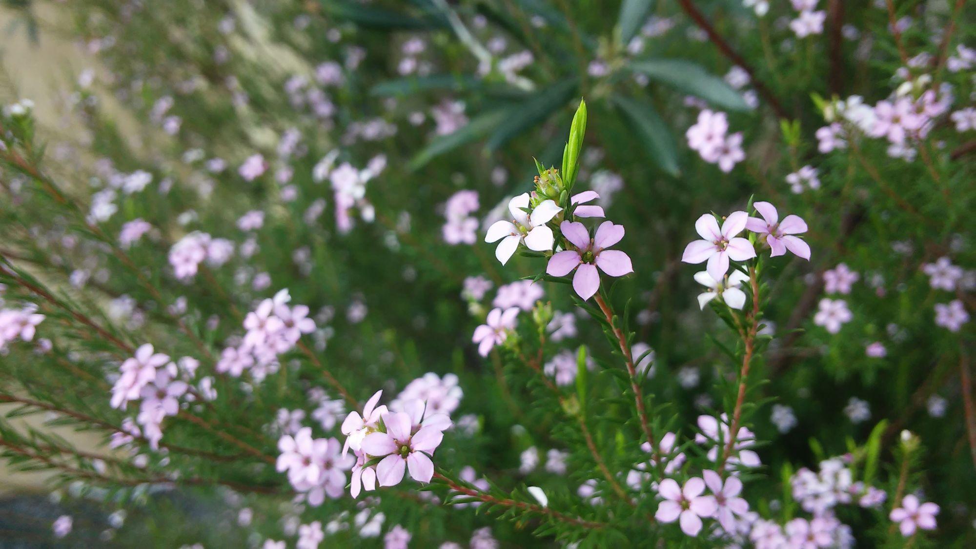 arbusto a fiore rosa